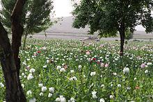 Opium is de belangrijkste bron van inkomsten voor de Taliban: Opiumpapaverveld in de Gostan-vallei, provincie Nimruz, Afghanistan