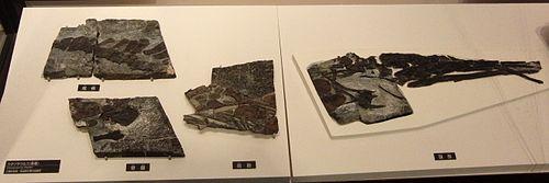 Fossiel van Utatsusaurus in het Nationaal Museum voor Natuur en Wetenschap, Tokio