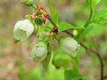Kwiaty borówki amerykańskiej