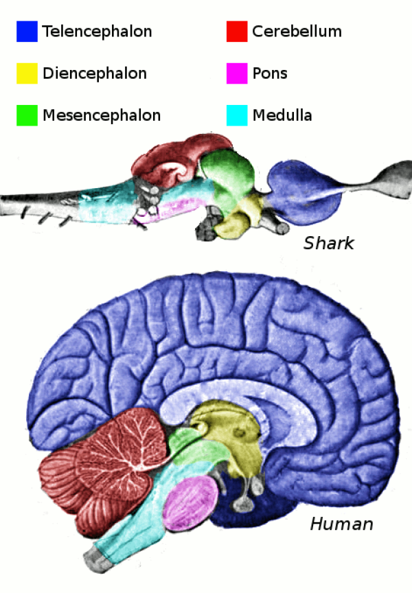 Es werden korrespondierende Hirnregionen von Mensch und Hai gezeigt. Was sich im hinteren Teil des Haihirns befindet (das Rückenmark), befindet sich im unteren Teil des menschlichen Gehirns. Das Großhirn des Hais (Telenchephalon) befindet sich vorne, das des Menschen oben.