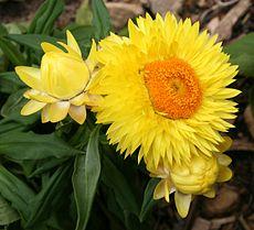 """""""Strawburst Yellow"""", gezüchtet in Kalifornien, mit gelben Brakteen und orangefarbener zentraler Scheibe"""