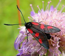 Een Burnet Moth (Zygaena sp.), een dagvlieger. Deze haalt nectar uit een distel (en bestuift hem) in Estland.